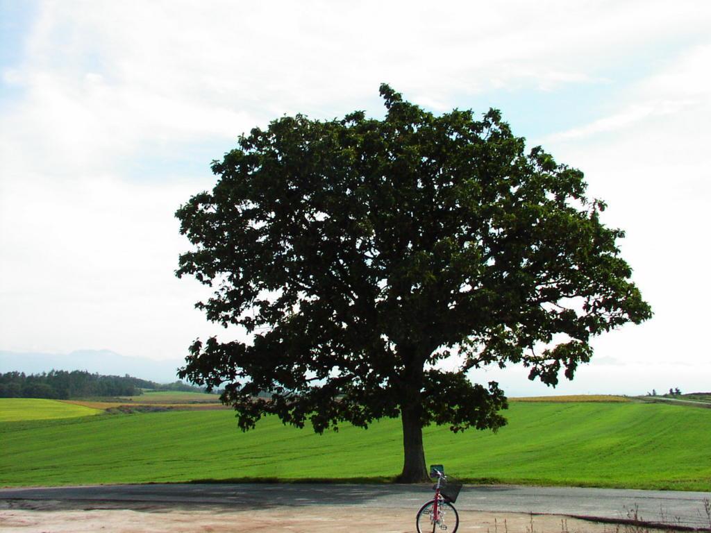 美瑛の丘を代表する風景「セブンスターの木」