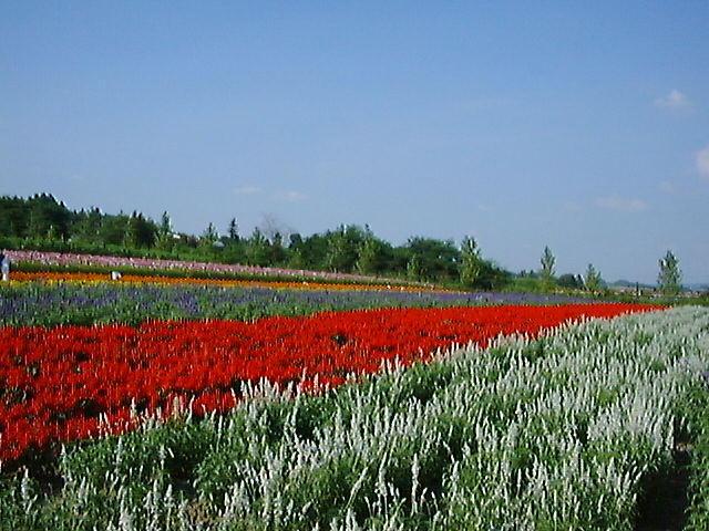 ラベンダーをはじめさまざまな花が見られる「ファーム富田」