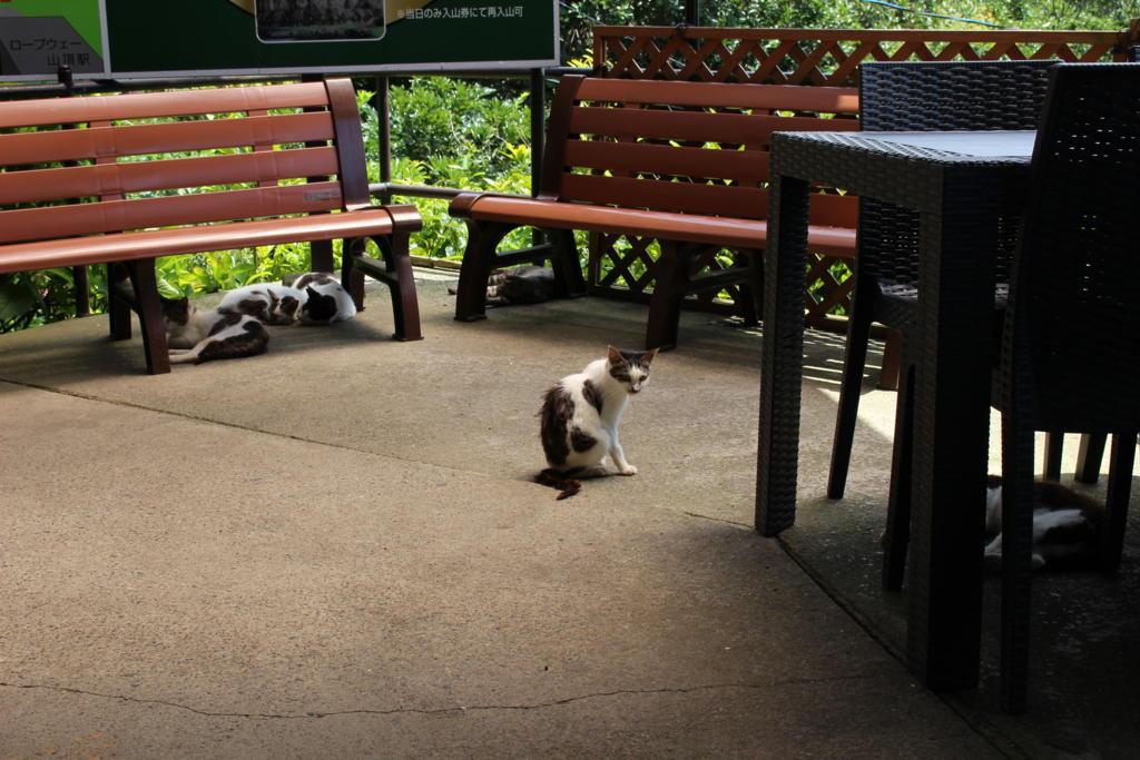 鋸山ロープウェイ山頂駅に住み着いているネコたち 猛暑でぐったりです