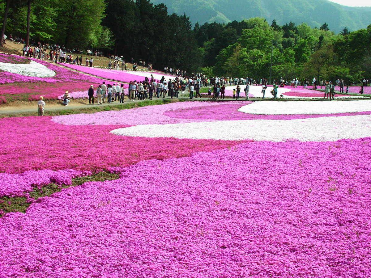 羊山公園の「芝桜」