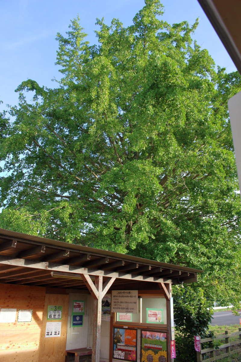 上総久保駅の大イチョウ、樹高は20メートルにもなります
