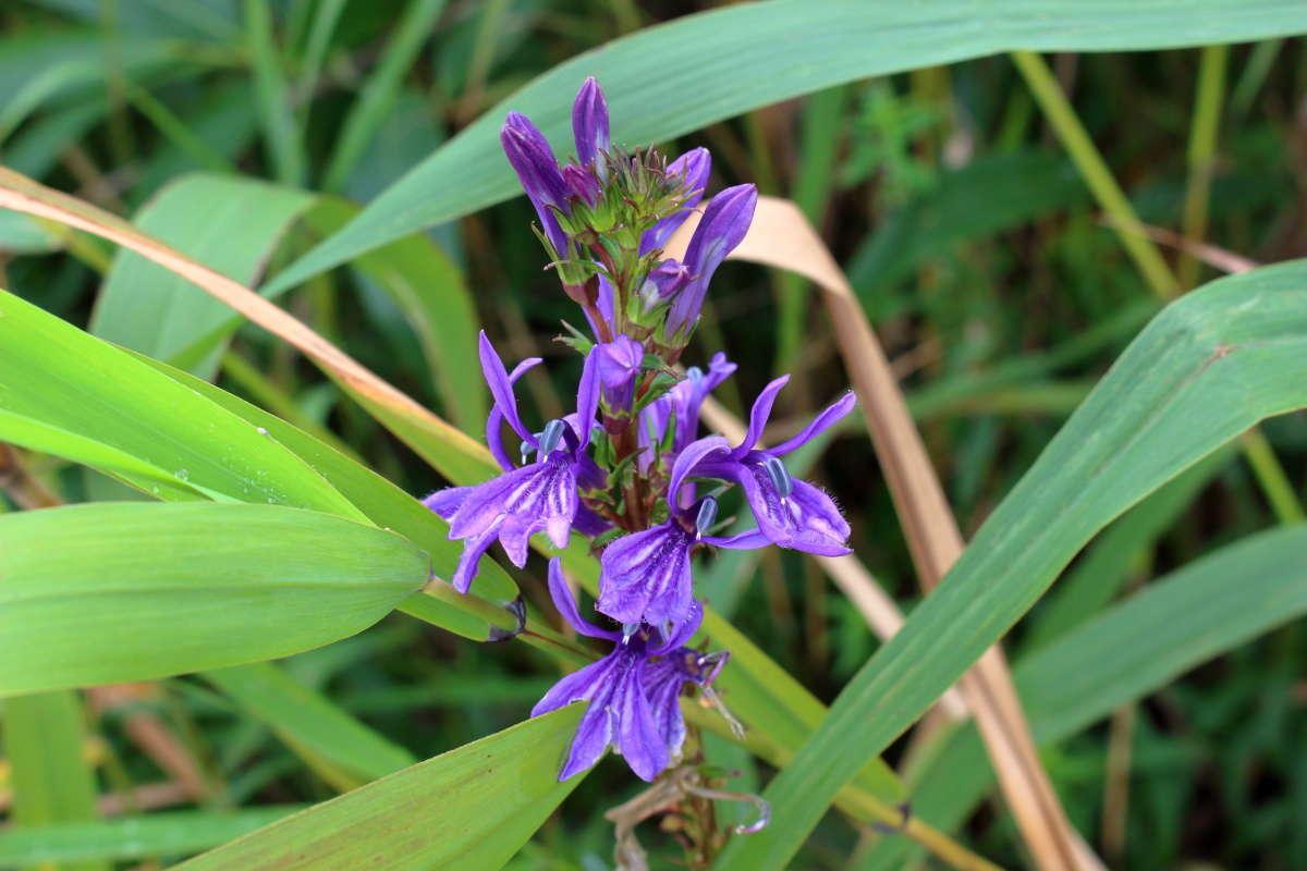 紫色が鮮やかな有毒植物「サワギキョウ」