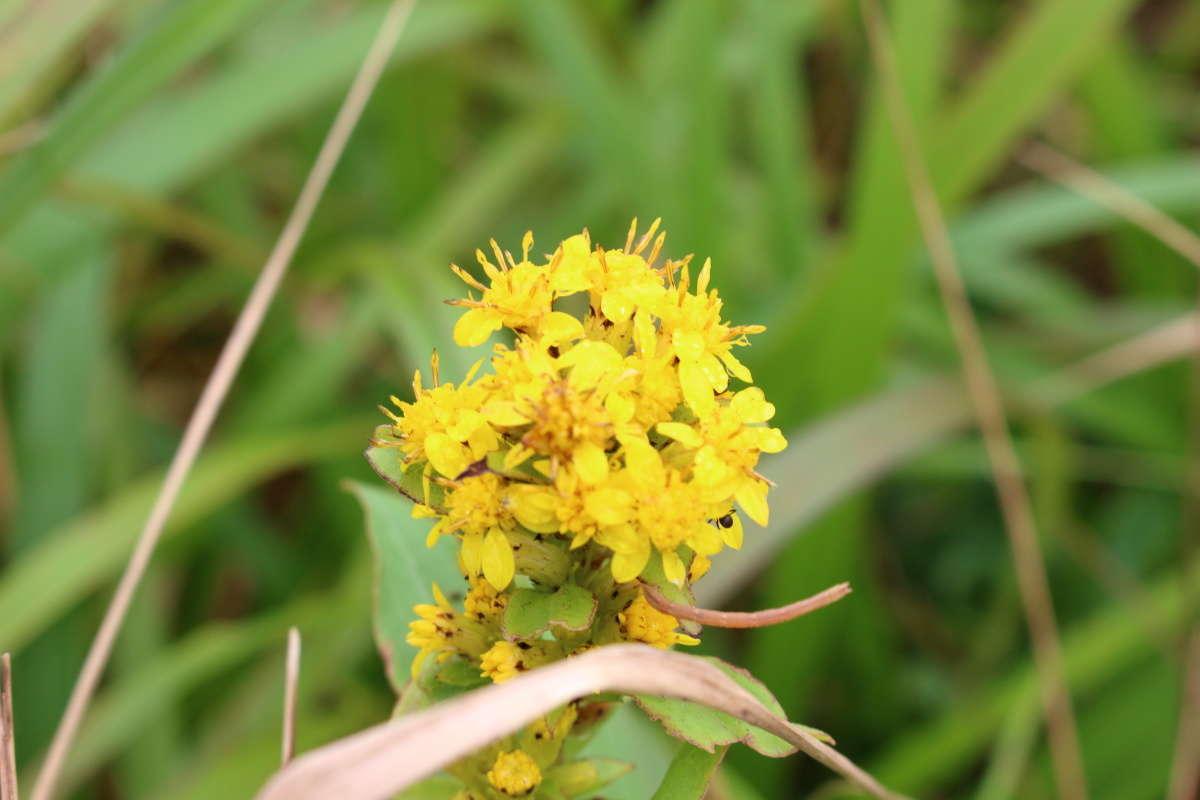 黄色い花をたくさんつけた「ミヤマアキノキリンソウ」(深山秋の麒麟草)