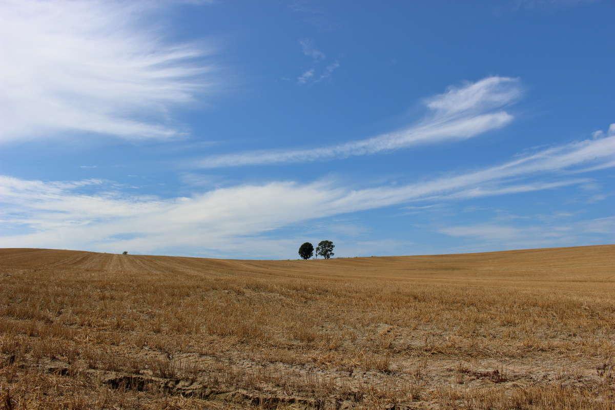 3本のカシワの木が並ぶ「親子の木」