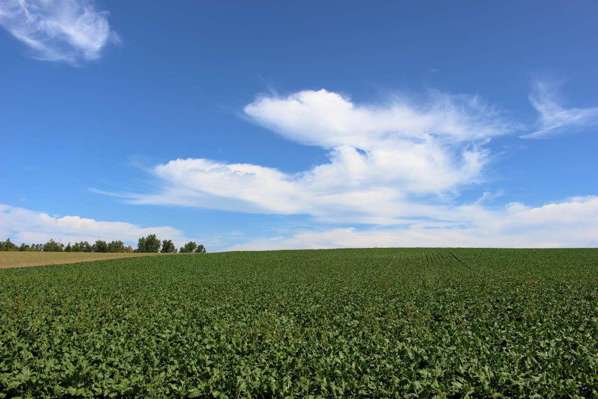 畑の緑と青い空が美しい美瑛の丘