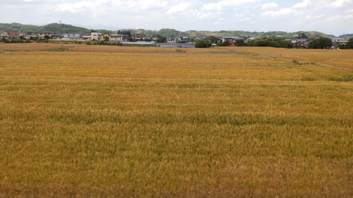 黄金色に染まる麦畑