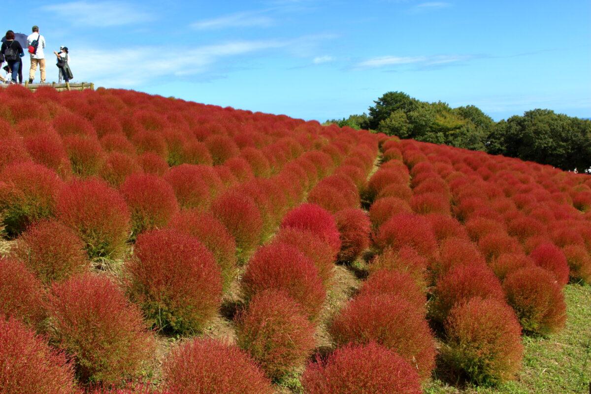 緑から赤へと紅葉するひたち海浜公園のコキア