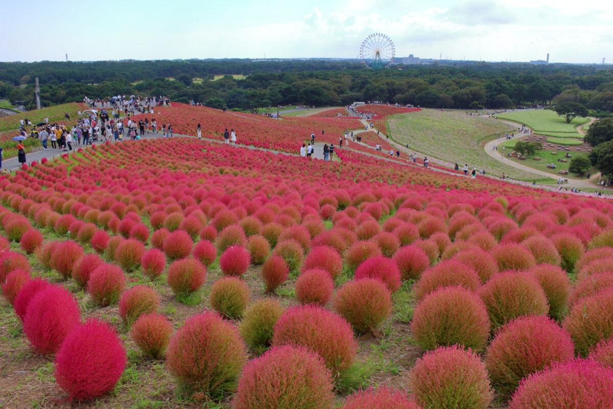 みはらしの丘の上から紅葉したコキア畑を見下ろす