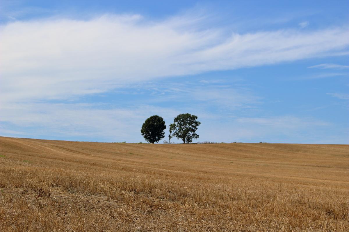 美瑛パッチワークの丘にある「親子の木」