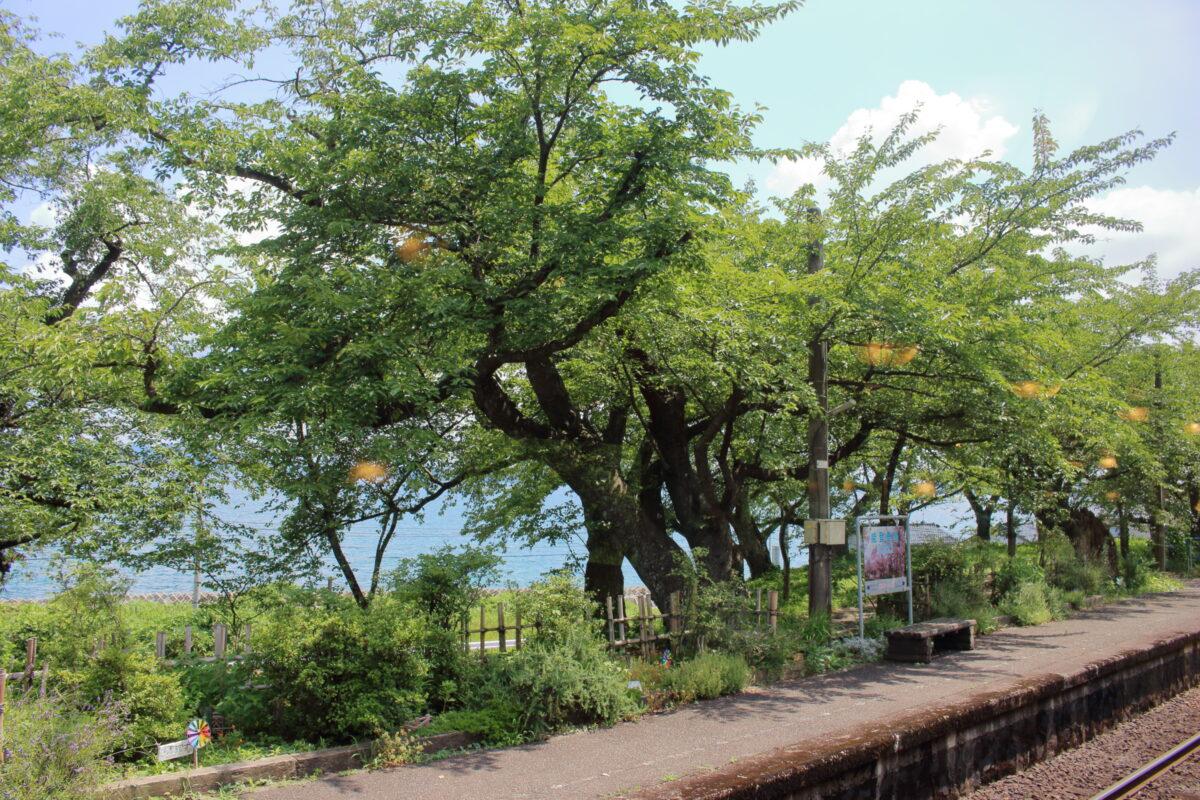 春は桜が満開になる能登鹿島駅